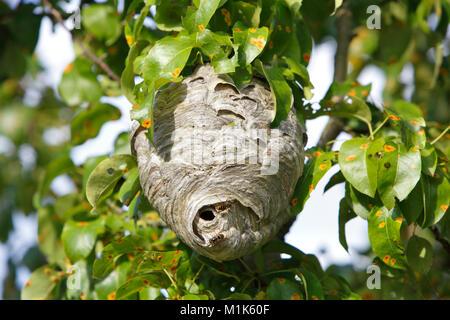 Vespiary of the Median Wasp (Dolichovespula media), Middle Elbe Biosphere Reserve, Saxony-Anhalt, Germany - Stock Photo