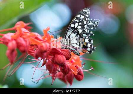 Common Morman butterfly, Papilio Polytes or Lime / Chequered Swallowtail Butterfly Papilio Demoleus - Stock Photo