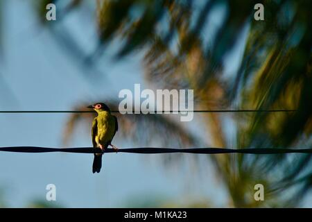 Male Australasian figbird (Sphecotheres vieilloti), Townsville, Queensland, Australia - Stock Photo