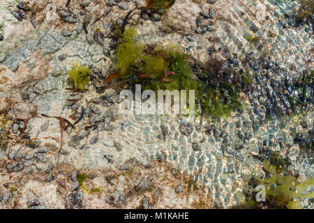 Close up shoal at low tide with seaweed and fish - Stock Photo