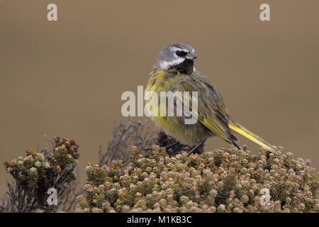 Black-throated Finch - Stock Photo