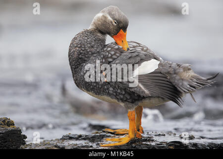 Falkland Steamer duck - Stock Photo