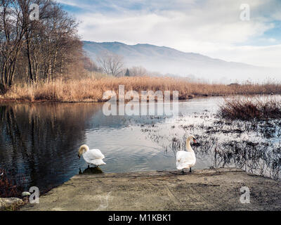 two swans stand along the shore of the Varese lake in autumn morning, - Stock Photo