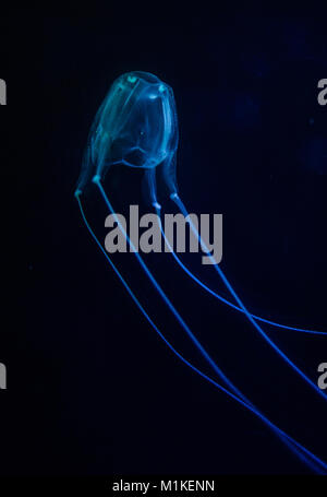 Close up image of a box jellyfish in an aquarium under blue lights - Stock Photo