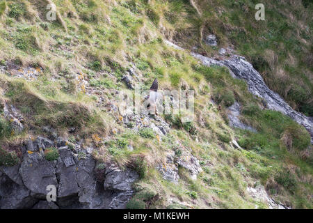 Wild mating pair Male Kestrel & Female Kestrel Breeding on the cliffs by the sea, Polly Joke, Newquay, Cornwall, - Stock Photo