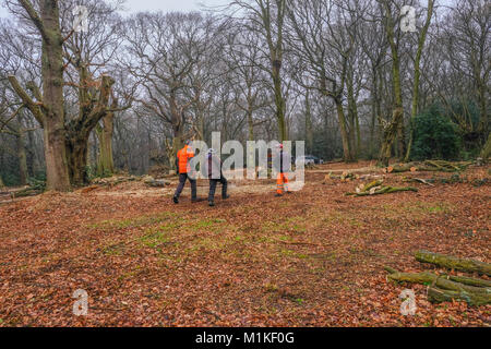 Hainault Forest, Essex, England, UK  - January 9, 2018:  pollarding the ancient hornbeam trees to regenerat the - Stock Photo