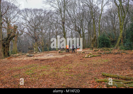 Hainault Forest, Essex, England, UK  - January 9, 2018:  pollarding the ancient hornbeam trees to regenerate the - Stock Photo