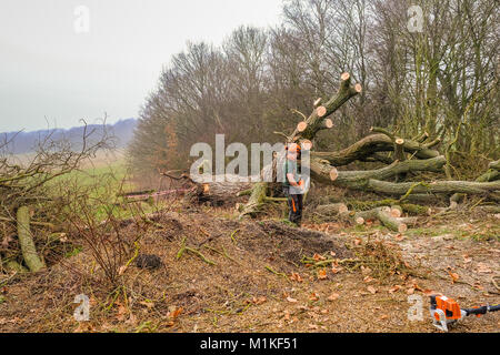 Hainault Forest, Essex, England, UK  - January 9, 2018:  cutting up and disposing of a large fallen tree.   The - Stock Photo