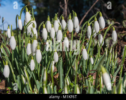A group of flowering wild snowdrops (Galanthus) in sunshine with raindrops on the plants - Stock Photo