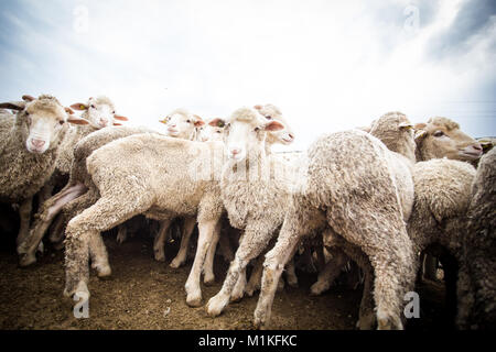 Close up wide angle view of a flock of sheep in a holding pen on a farm - Stock Photo