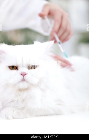 vet giving the vaccine to the white Persian cat - Stock Photo