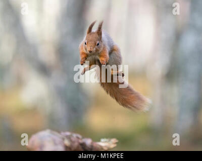 Cairngorms National Park. 30th Jan, 2018. UK Weather: A Red Squirrel Sciurus vulgaris caught in mid flight as it - Stock Photo