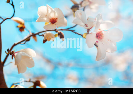 Beautiful flowers of a magnoliin background of the blue sky. Spring background. Selective focus. - Stock Photo