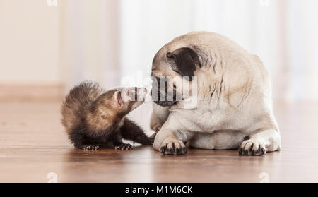 Animal friendship: Ferret sniffing at with pug puppy. Germany - Stock Photo