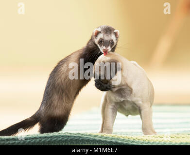 Animal friendship: Ferret playing with pug puppy. Germany - Stock Photo