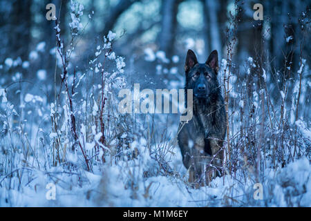 German Shepherd, Alsatian. Adult dog in winter, standing at the forest edge. Germany - Stock Photo