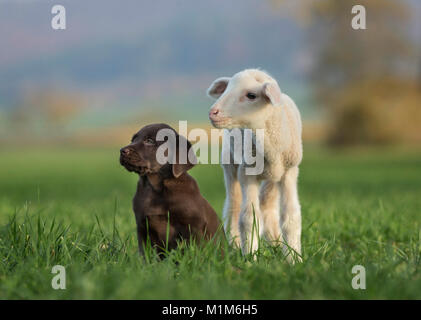Labrador Retriever and Merino Sheep. Lamb and puppy on a meadow. Germany - Stock Photo