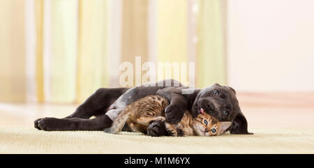 Labrador Retriever and Bengal Cat. Puppy and kitten playing. Germany - Stock Photo