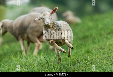 Merino Sheep. Juvenile jumping on a meadow. Germany - Stock Photo