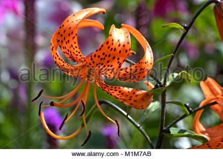 Detail einer Tiger-Lilie bzw. Tigerlilie (Lilium lancifolium). Die farbenpraechtige Bluete mit den markanten Punkten - Stock Photo