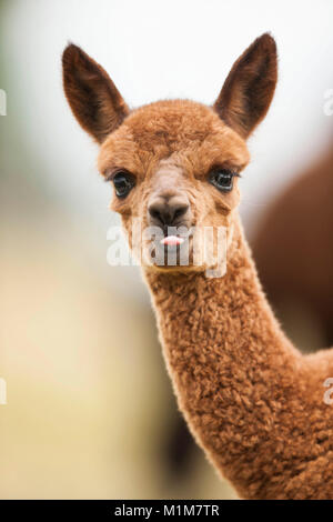 Alpaca (Lama pacos, Vicugna pacos). Portrait of brown foal. Germany - Stock Photo