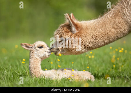 Alpaca (Lama pacos, Vicugna pacos). Mother sniffing at young on a meadow. Germany - Stock Photo