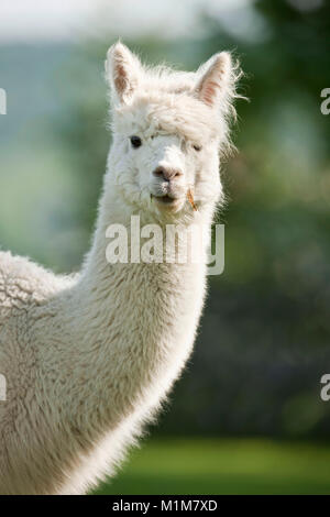Alpaca (Lama pacos, Vicugna pacos), portrait of adult. Germany - Stock Photo