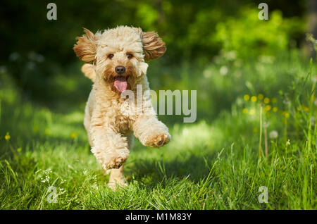 Miniature Labradoodle. Adult running towards the camera. Germany - Stock Photo