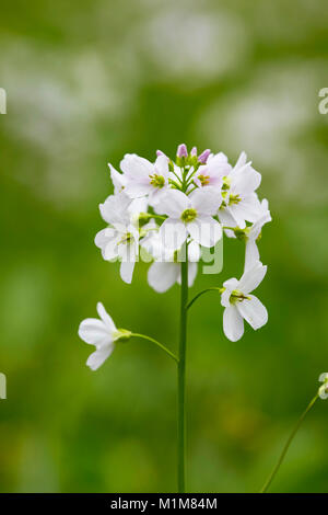 Flowering Cuckoo Flower, Lady's Smock (Cardamine pratensis) on a meadow. Germany - Stock Photo