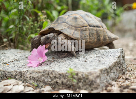 Mediterranean Spur-thighed Tortoise, Greek Tortoise (Testudo graeca). Adult eating pink mallow flower. Germany - Stock Photo