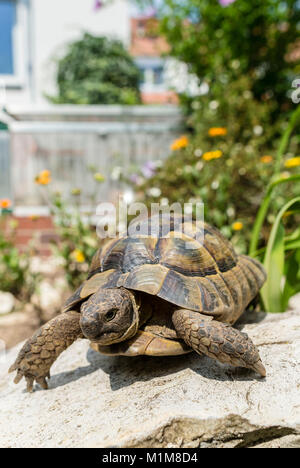 Mediterranean Spur-thighed Tortoise, Greek Tortoise (Testudo graeca). Adult in a garden. Germany - Stock Photo
