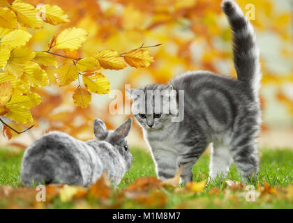 British Shorthair Cat and Dwarf Rabbit. Tabby kitten and bunny meeting in a garden in autumn, Germany - Stock Photo