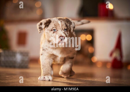 Mixed-breed dog. Puppy walking in a room decorated for Christmas. Germany. - Stock Photo