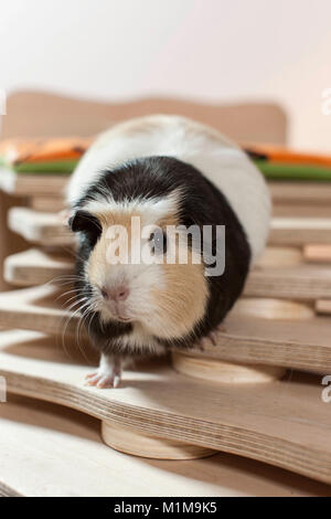 English Crested Guinea Pig, Cavie walking on a selfmade staircase. Germany - Stock Photo