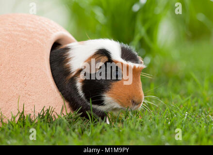 English Crested Guinea Pig, Cavie coming out of its retreat onto a lawn. Germany - Stock Photo