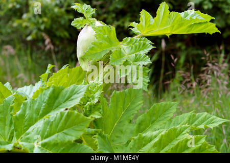 hogweed blossoms, wild poisonous plant ambrosia - Stock Photo