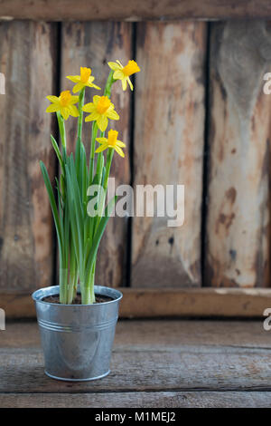Spring yellow narcissus in the iron pot over the wooden background with a copy space. Easter postcard concept. Toned. - Stock Photo