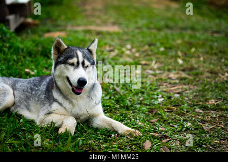 A little siberian husky sitting and take a look something with interest in the midst of nature, selective focus. - Stock Photo