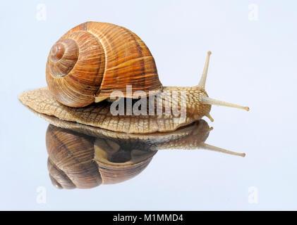 Snail, Helix pomatia, Weinbergschnecke - Stock Photo
