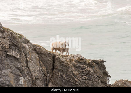 Mother and baby sheep grazing on a cliff edge, with lamb sucking from Mother at Hollywell Bay Newquay, Cornwall,UK - Stock Photo