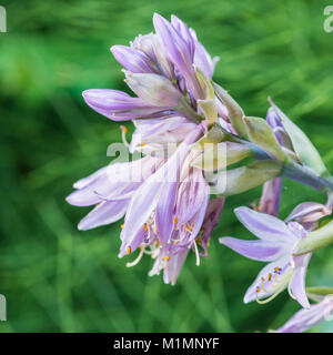 A macro shot of some blue hosta blooms. - Stock Photo