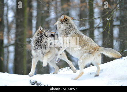 Wolf Timber Wolf Canis lupus, Wolf Timberwolf Canis lupus