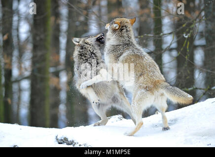 Wolf Timber Wolf Canis lupus, Wolf Timberwolf Canis lupus - Stock Photo