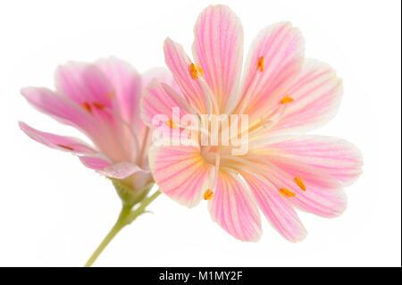 Pink (Lewisia cotyledon bitter spice), Rosa Bitterwurz (Lewisia Cotyledon) - Stock Photo