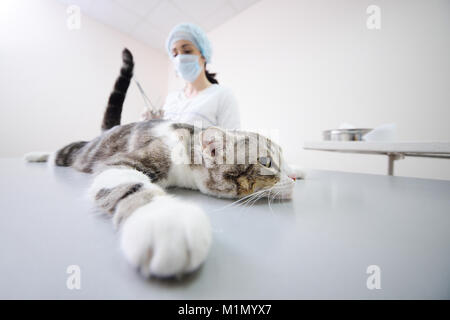 cat on the operating table - Stock Photo
