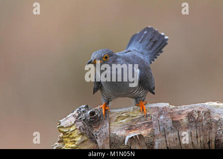 CUCKOO (Cuculus canorus) - Stock Photo