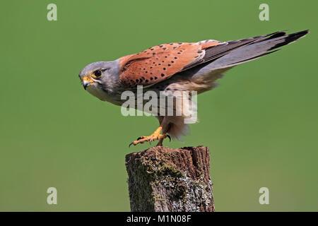 KESTREL (Falco tinnunculus), UK. - Stock Photo
