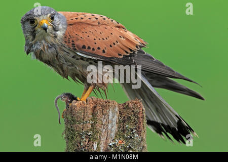 KESTREL (Falco tinnunculus) male on a post with a mouse, Worcestershire, UK. - Stock Photo