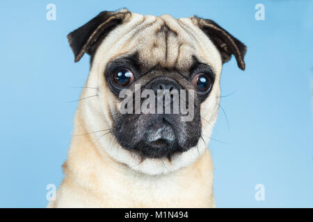 A cute fawn pug looking to the camera, placed in a blue background. - Stock Photo