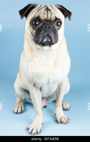 A cute fawn pug sitting down, placed  in a blue background. - Stock Photo